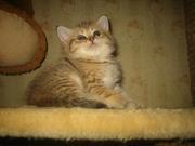 Чистокровные британские котята , редких окрасов!