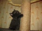Британская плюшевая кошечка черная пантерка!