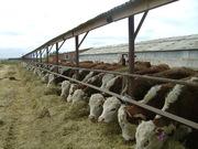 продам бычков, тёлок, нетелей племенных пород
