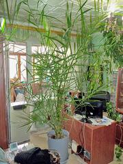 Большая финиковая пальма