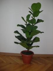 фикус Лирата,  амариллисы (гипеаструм)